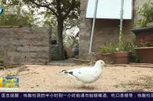 石狮:白鸽陪伴做保洁