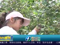 蓝莓喜获丰收 生态采摘乐趣多