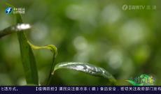 《多彩闽茶》6月27日