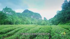 多彩闽茶丨同山不同韵,同韵不同香